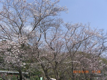 14 大池遊園駅前の桜.jpg